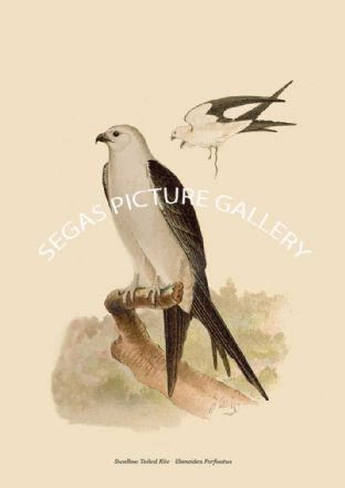 Swallow Tailed Kite - Elanoides Forficatus
